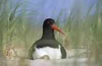 Bild 0 von Die Brutzeit in den Wattenmeer-Nationalparken hat begonnen