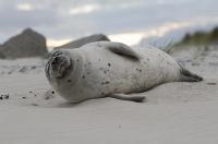 Bild 0 von Seehundzählung 2015: Seehundbestände im Wattenmeer trotzen Grippevirus