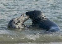 Bild 0 von Kegelrobbenzählung 2016: Zahl der Kegelrobben im Weltnaturerbe Wattenmeer nimmt weiter zu