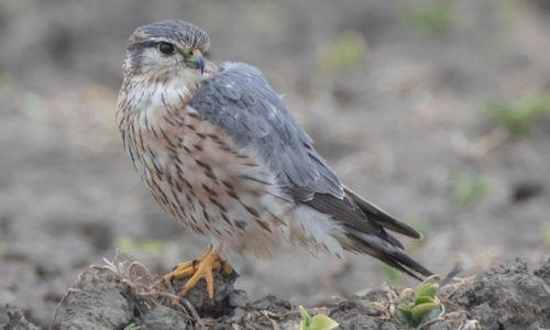 Bild 0 von Der Merlin – Der kleinste Falke Europas an der deutschen Nordseeküste