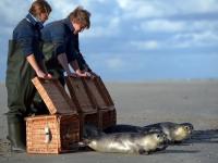 Bild 0 von Vier junge Seehunde sind wieder in Freiheit